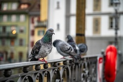 Close up portrait of a cute adorable funny pigeon bird sitting on an iron fence railing on a bridge in Luzern Switzerland with blurred background and copy space