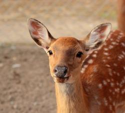 Close-up portrait of a dappled deer female. Dappled deer head. Deer in the zoo. Cervus nippon.