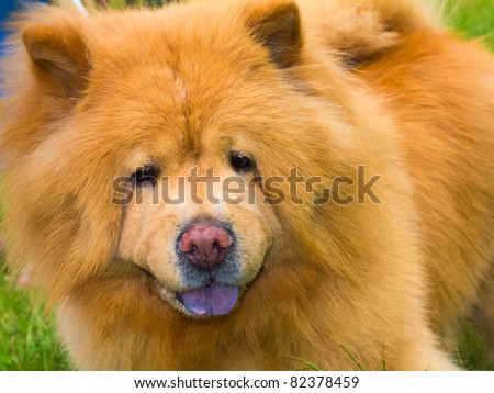 close-up portrait of a dog chow breed, shallow depth of field