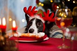 Close-up portrait of a dog wearing reindeer's horns celebrating Christmas. Bone on a plate as a treat on served holiday table. Christmas vibes