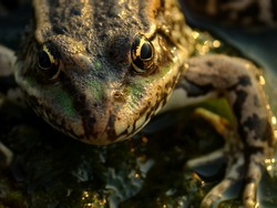 Close-up portrait of a frog. Yellow eyes. Reptile concept. Animal macro, wildlife unique background.