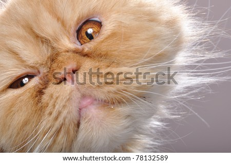 close-up portrait of a funny red Persian breed cat