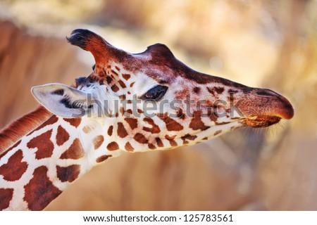 Close-up portrait of a Giraffe (Giraffa camelopardalis)