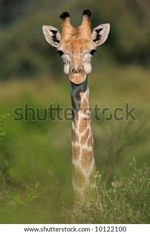 Close-up portrait of a giraffe (Giraffa camelopardalis), South Africa