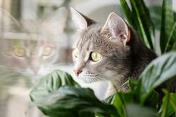 Close-up portrait of a gray striped domestic cat sitting on a window around houseplants. Image for veterinary clinics, sites about cats, for cat food.