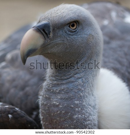 Close up portrait of a gray Vulture staring proud