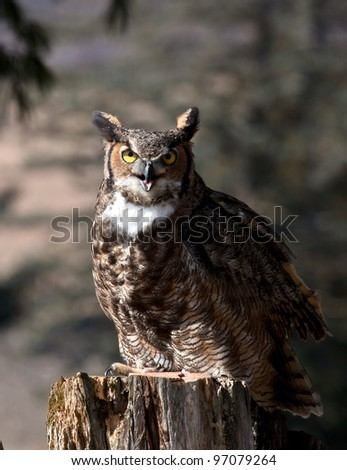 Close up portrait of a Great Horned Owl, perched on a tree stump.  Backlit image.