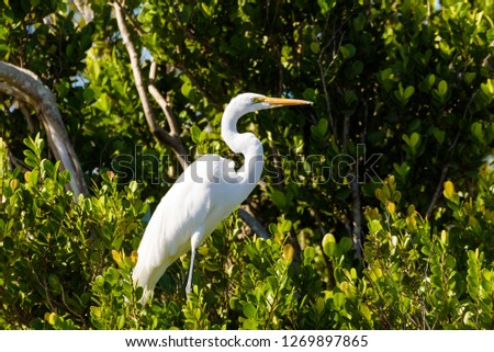 Close up portrait of a Great White Egret among green leaves. Everglades National Park, Florida. #1269897865