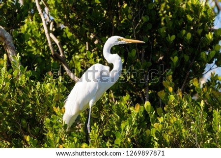 Close up portrait of a Great White Egret among green leaves. Everglades National Park, Florida. #1269897871