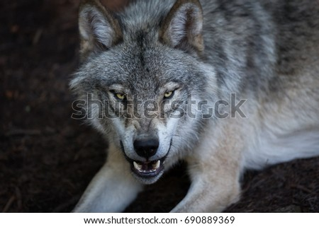 Close up portrait of a grey wolf (Canis Lupus) also known as Timber wolf displaying an agressive facial dominant expression in the Canadian forest during the summer months. #690889369