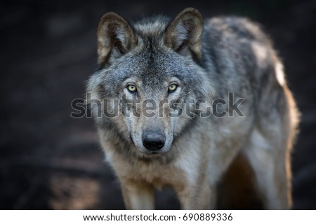 Close up portrait of a grey wolf (Canis Lupus) also known as Timber wolf in the Canadian forest during the summer months. #690889336