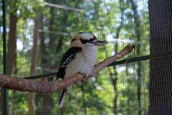 Close-up portrait of a Kookaburra. a portrait of a laughing kookaburra bird (Dacelo novaeguineae) in zoo.
