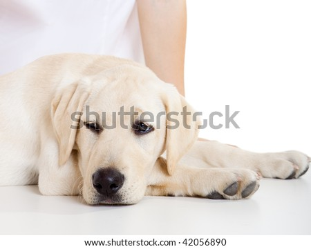 Close-up portrait of a labrador dog a with a sick face