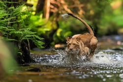 Close-up portrait of a lioness chasing a prey in a creek. Top predator in a natural environment. Lion, Panthera leo.