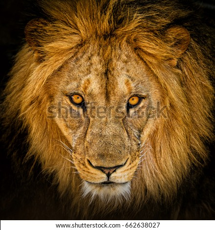 Stock Photo Close-up portrait of a male African lion.