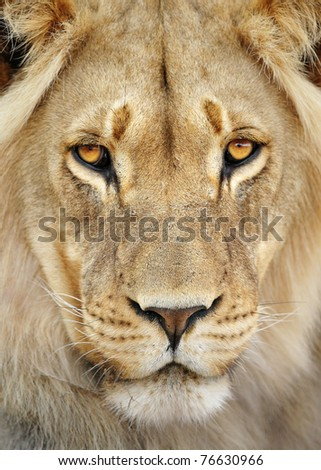 Close-up portrait of a male lion; panthera leo; Kalahari desert; South Africa