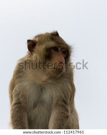 Close up portrait of a monkey at Lopburi ,Thailand