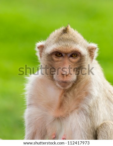 Close up portrait of a monkey at Lopburi ,Thailand