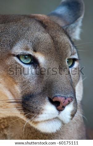 Close up portrait of a mountain lion - cougar - puma.