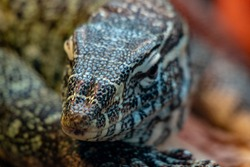 close up portrait of a nile monitor, a large African species
