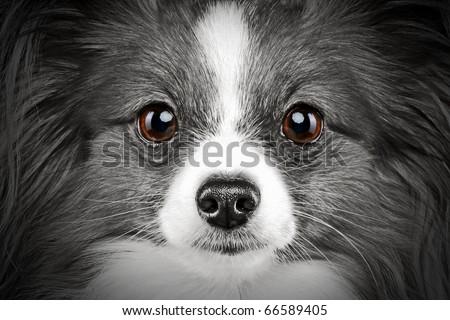 Close-up portrait of a papillon breed dog (monochrome image)