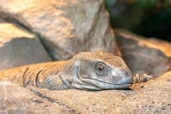 Close up portrait of a savannah monitor (varanus exanthematicus) in captivity