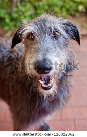 Close up portrait of a Scottish Deerhound.The Scottish Deerhound, or simply the Deerhound, is a breed of hound once bred to hunt the Red Deer by coursing. #128822362