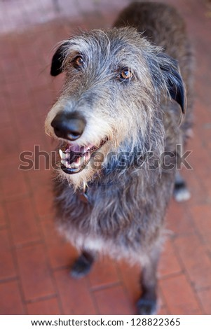 Close up portrait of a Scottish Deerhound.The Scottish Deerhound, or simply the Deerhound, is a breed of hound once bred to hunt the Red Deer by coursing. #128822365