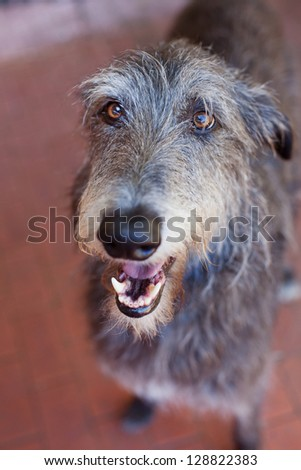 Close up portrait of a Scottish Deerhound.The Scottish Deerhound, or simply the Deerhound, is a breed of hound once bred to hunt the Red Deer by coursing. #128822383