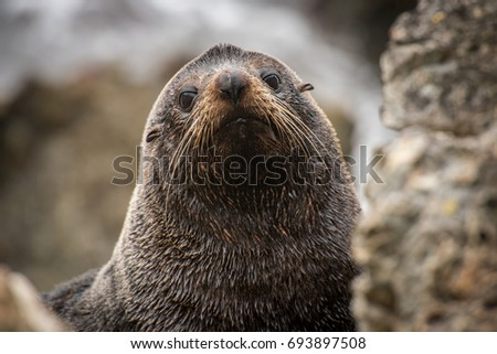 Close up portrait of a seal facing the camera with wet fur and mustache while partially hiding between big rocks. Photo captured in it's natural environment in New Zealand.