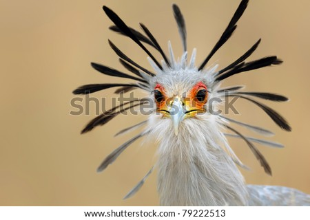 Close-up portrait of a secretary bird - Sagittarius serpentarius