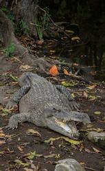 Close up portrait of a sestuarine crocodile (Crocodylus porosus) in captivity