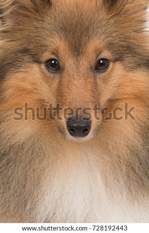 Close up portrait of a shetland sheep dog #728192443