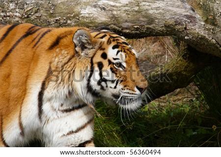 Close-up portrait of a Siberian Tiger hiding behind a fallen tree
