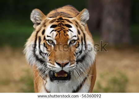 Close-up portrait of a Siberian Tiger in front of a dark forest