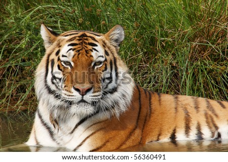 Close-up portrait of a Siberian Tiger taking a refreshment in the water - stock photo
