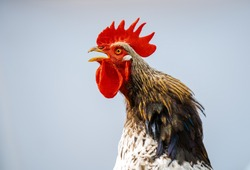 Close-up portrait of a singing rooster on a white background. A singing rooster in the early morning. Funny portrait of a rooster.