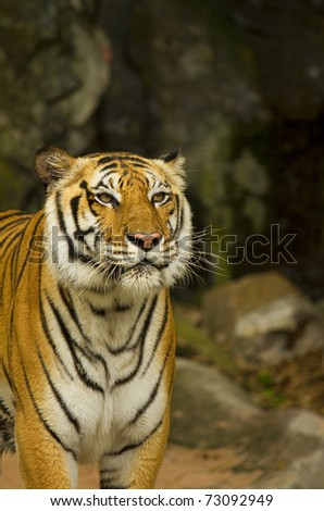 Close-up portrait of a slobbering Siberian Tiger