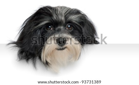 Close-up portrait of a smiling havanese puppy dog above a banner, isolated on white background