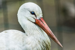 Close-up portrait of a stork with  light background