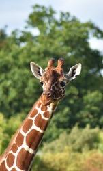 Close up portrait of a tall long neck african giraffe.