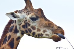 Close up portrait of a tall long neck african giraffe eating straw and grass looking into the distance.