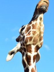 Close up portrait of a tall long neck african giraffe looking into the distance.