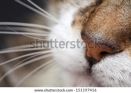 Close Up Portrait of a three colored Housecat in Studio