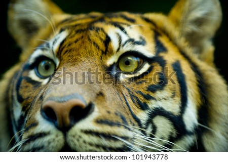 Close up portrait of a tigers face
