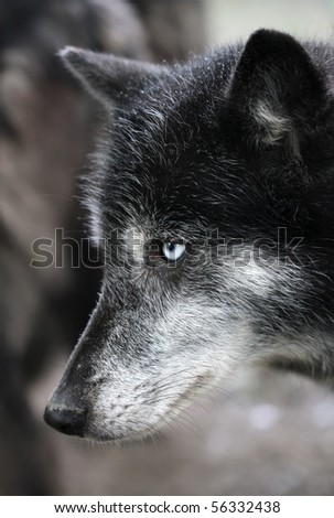 Close up portrait of a timberwolf