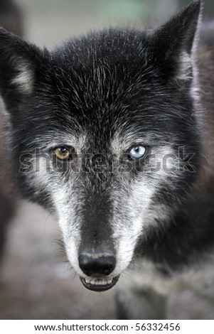 Close up portrait of a timberwolf
