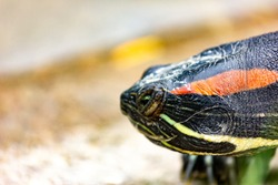 Close-up portrait of a turtle. Trachemys tortoise background.