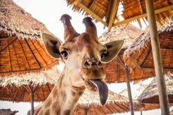 close up portrait of a weird funny face giraffe