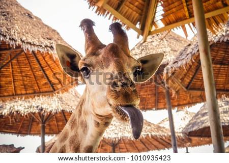close up portrait of a weird funny face giraffe  #1010935423